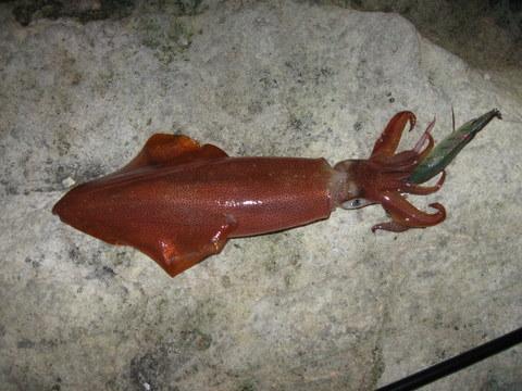 Arrow head squid